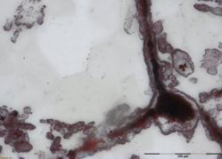 Filamentos dejados por los fósiles