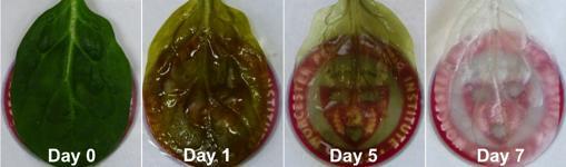 Técnica para retirar las células vegetales y dejar el sistema circulatorio intacto