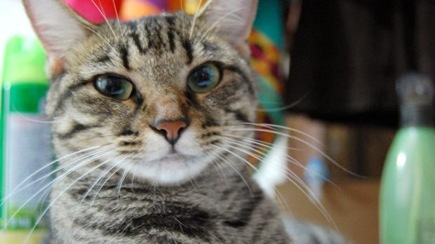 Los gatos escogen el contacto humano antes que comer