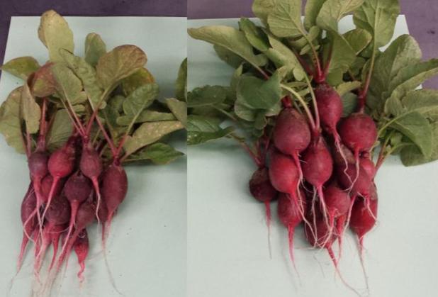 Los rábanos de la derecha, notablemente más grandes, se cultivaron con la ayuda de una hoja biónica que produce fertilizantes con bacterias, luz solar, agua y aire