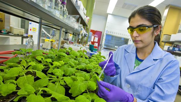 Una técnico manipula una planta del tabaco en el Joint BioEnergy Institute en California