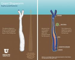 Anatomía del Kuphus, que vive en el fango