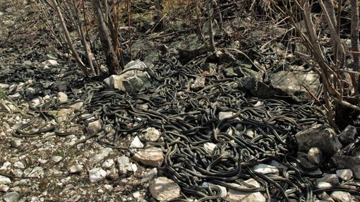 Los científicos estudiaron una población de culebras rayadas en Manitoba, Canadá