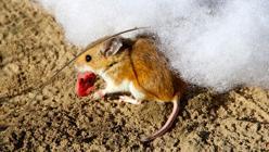 Un ratón en su nida