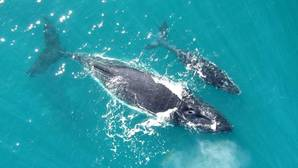 Una pareja formada por una madre y su cría en el golfo de Exmouth, en Australia