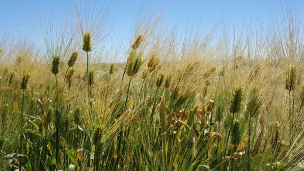Planta de cebada. Los investigadores han conseguido la secuencia más completa del ADN de una planta