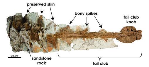 Cola del anquilosaurio: armada con espinas y un gran martillo al final