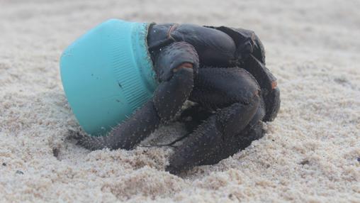 Un cangrejo que vive en un tapón