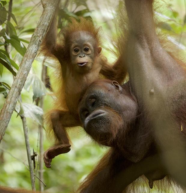 Una mamá orangután y su cría de 11 meses