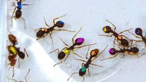 Cada hormiga decide si acudir o no a una fuente de azúcares, pero el grupo siempre opta por lo más racional, escoger la fuente más rica en alimento
