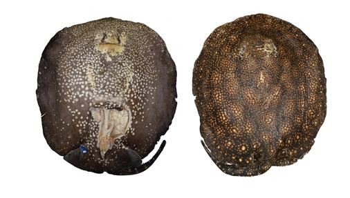 Los ejemplares más grandes de esta raya pueden pesar 20 kilos