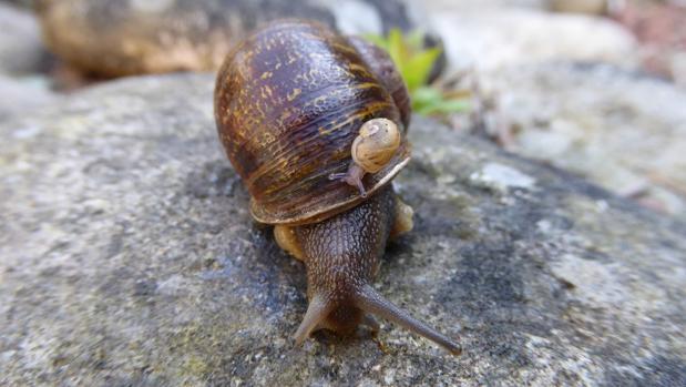 La triste historia del solitario Jeremy, el caracol zurdo sin éxito en el sexo