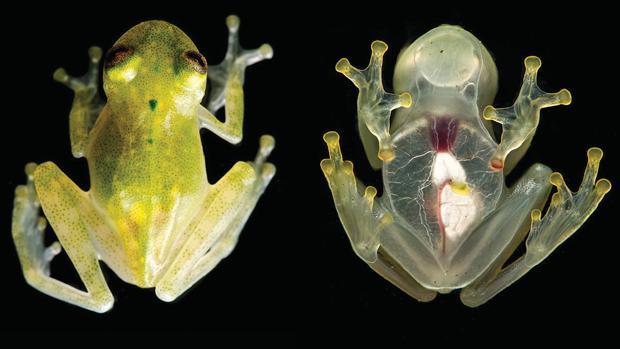 La rana Hyalinobatrachium Yaku, con el corazón a la vista