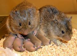 Una pareja de ratones, acurrucada junto a sus crías