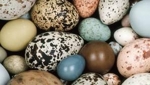 Las aves ponen huevos en una amplia variedad de colores, diseños, tamaños y formas