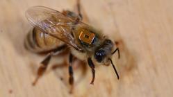 Una abeja lleva un identificador por radiofrecuencia para seguir sus pasos