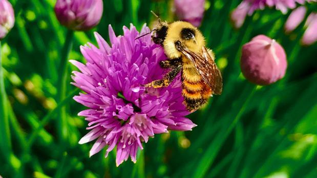 Una abeja recoge polen de una flor en Canadá
