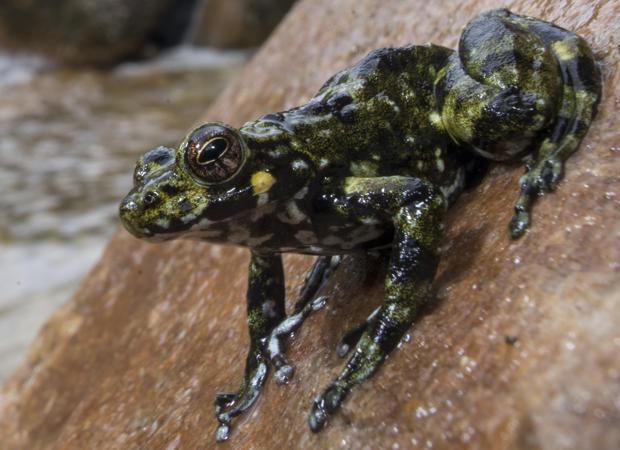 El 88% de las especies de ranas modernas provienen de tres linajes que sobrevivieron al meteorito que acabó con los dinosaurios