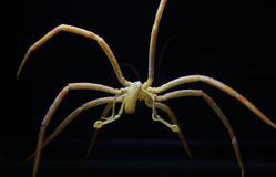 La delgadísima araña marina
