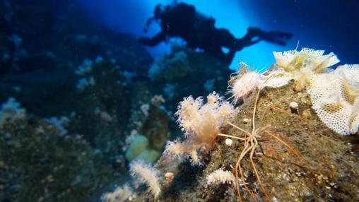 Las tripas de las arañas marinas llenan el espacio corporal de la misma manera que nuestros sistemas circulatorios