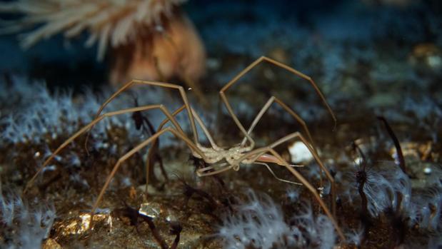Una araña marina en el fondo del océano