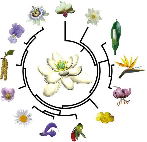 Ancestro de las flores, en el centro, a partir del que surgieron las demás. (Esquema muy simplificado)