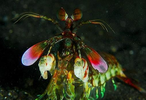 La visión de los humanos está basada en tres colores, y la de las gambas mantis (en la imagen) en 12