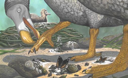 Desvelada la vida secreta de los dodos, los «pájaros bobos»