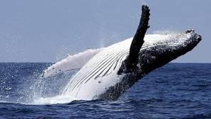 Un estudio revela que las ballenas fueron feroces depredadores