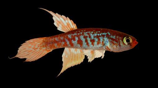 El pez Maratecoara gesmonei
