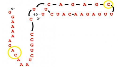 Una simple molécula de ARN como la que aparfece en la imagen pudo ser la respopnsable de la vida compleja que conocemos