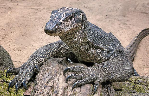Varano o dragón de Komodo. Puede llegar a los 120 kilogramos de peso
