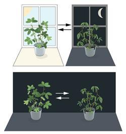 Jacques d'Ortous de Mairan colocó la planta en la oscuridad constante (parte inferior) y encontró que las hojas continuban siguiendo su ritmo diario normal