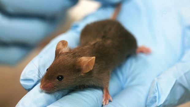 La investigación se ha realizado en animales de laboratorio
