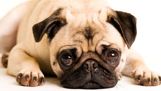 Los «ojos de cachorro» son una buena estrategia para conseguir comprensión