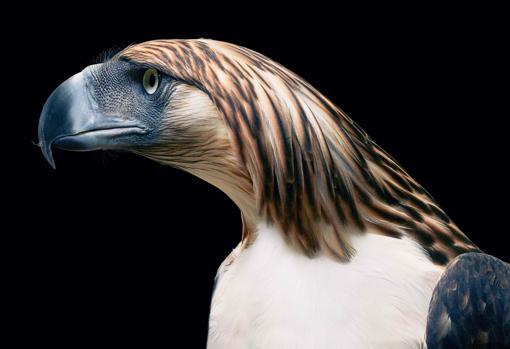 La exótica águila filipina