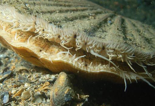 Las vieiras tienen multiples ojos (esferas oscuras) en el borde del manto, que sobresalen por los extremos de las valvas