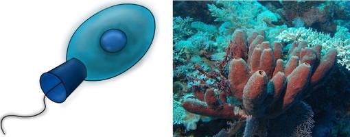 Los coanoflagelados (izquierda) son ancestros de los animales. Dentro de las esponjas (derecha), animales muy antiguos, células muy similares filtran el agua para extraer alimento