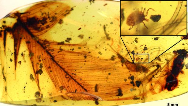Una garrapata se agarra a una pluma de dinosaurio conservada en ámbar birmano de hace 99 millones de años