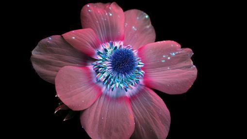 Una flor de anémona en el rango del ultravioleta