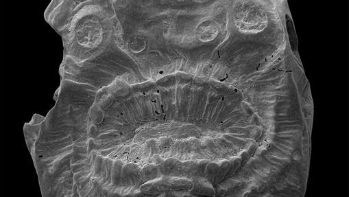 Aspecto del deuteróstomo más antiguo conocido, con 529 millones de años