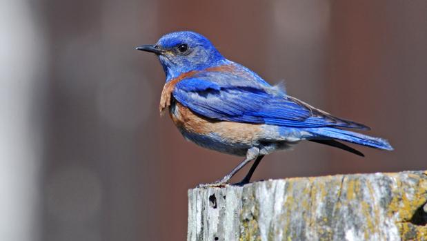 Azulejo de garganta azul
