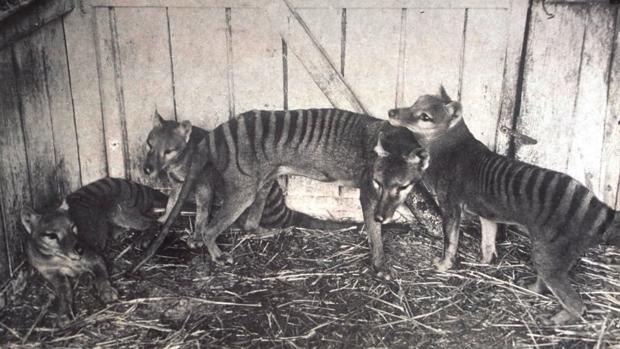 El último tigre de Tasmania murió en cautiverio en 1936