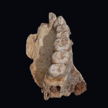 El fósil de Misliya