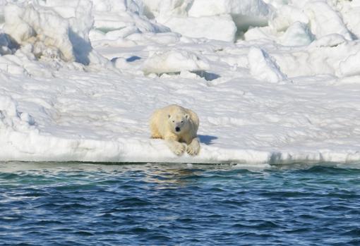 Un oso polar descansando sobre el hielo