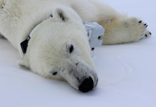 Una hembra de oso polar, analizada en el estudio, bajo los efectos de un sedante