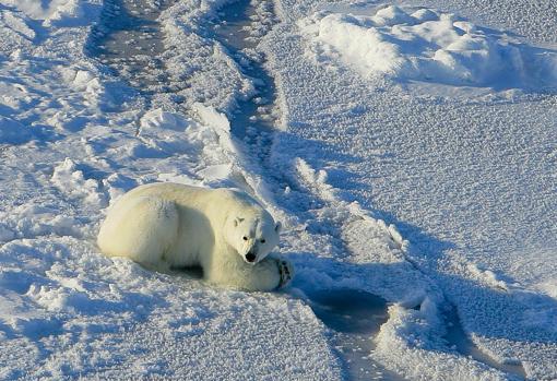 Un oso polar de caza: espera junto a un respiradero usado por focas