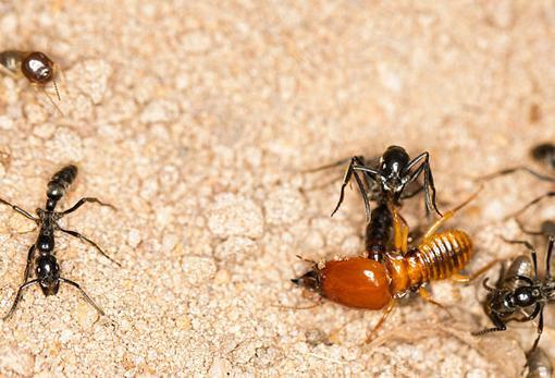 Una termita soldado cae ante el ataque de las matabele