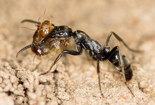 Una hormiga transportando un botín de varias termitas muertas