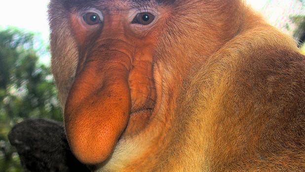 Este mono narigudo tiene garantizado el éxito entre las hembras